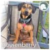 Boysenberry *