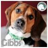Gibbs *